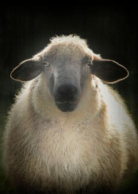 vintage farm shabby kitchen sheep farmlife animal cute black white minimal portrait shawn light new