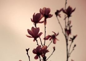magnolia dogwood beige brown red aubergine flower branch tree elegant nude photography spring new in