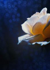 flower rose macro cram petals spring bokeh drops rain shining night intimacy light moon