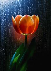 flower tulip spring drops rain leaves shadow petals macro scarlet intimacy sun light shining