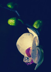 flower orchid intimacy trio macro drops evening light petals