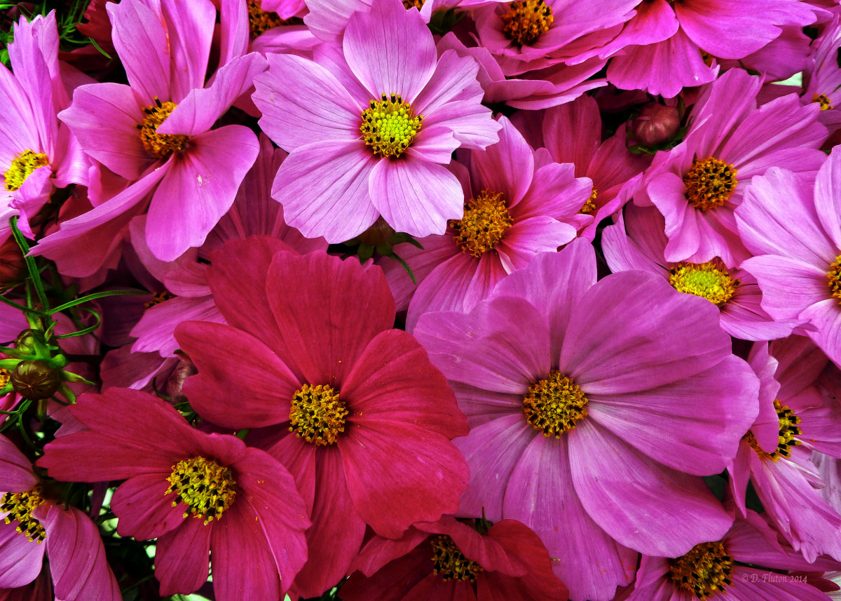 Cosmos. A grouping of cosmos in shades of red, fuchsia, magenta and p 27339