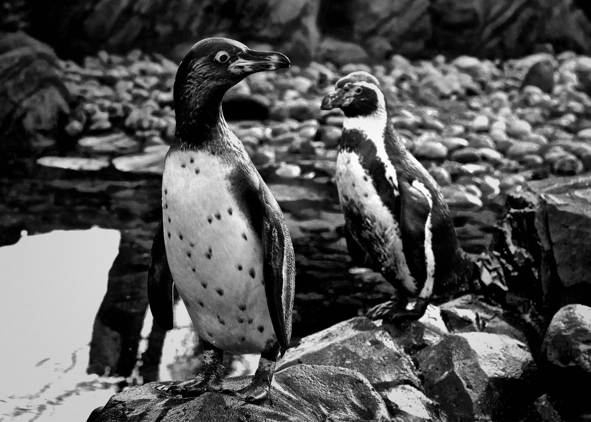A Pair of Penguins