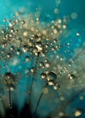 dandelion seed macro abstract blue sparkle water drops
