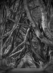 dark hedges trunks tree trees road path black and white monochrome big forest woods mysterious