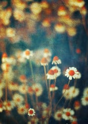 camomille flowers painterly effec tiny structure dof bokeh summer petals impressionistic