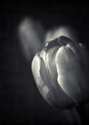 monochrome flower tulp still blossom macro close structure texture glow elegance