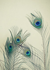feathers peacock bird nature simple elegant cyan emerald grey vintage pretty delicate eyes