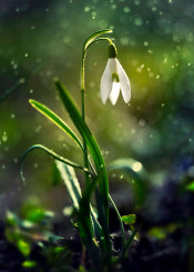 snowdrops flower rain macro details leaves green nature spring joy white petal plant decoration drop