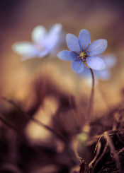 flower liverwort botanical petal delicate vulnerable macro details petals flower blue spring brown