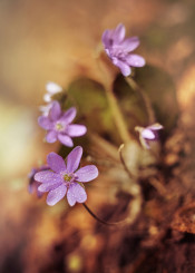 liverwort flower petals spring small macro details delicate spring bloom brown blurry wild bloom