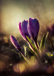 crocus flower rain macro details leaves green nature spring joy violet petal plant decoration drop