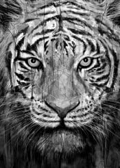 tiger black white animals nature paint