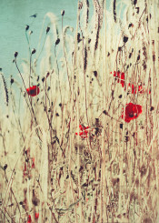 summer wheat rural field poppies flowers painterly impressionistic lowangle