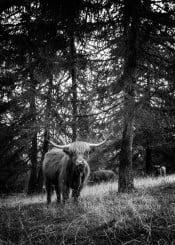 mountain cow black white italy