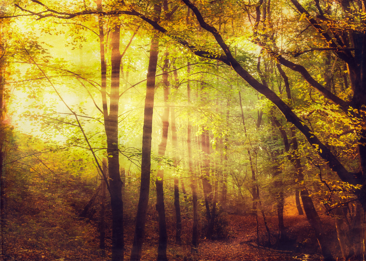 Sining in - rays of sunlight in a lush forest 131330
