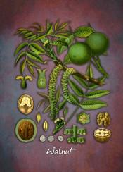 walnut nuts tree flora botanica botanical flower flowers green