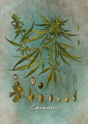 cannabis marijuana flora flower flowers leaf green seed botanical botanic