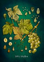 vinifera vitis grape vine fruit fruits green botanic botanical flora illustration