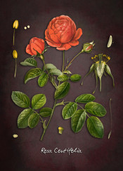 centifolia rosa roses flora flower flowers red purple botanic botanical decor home art illustration