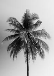 coconut palm tree monochrome