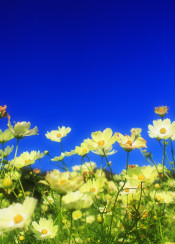yellow cosmos blue sky clear campus fall plant beautiful bright sunny green flower flowers nature natural garden meadow fresh golden floral blooming petals field asia asian outdoors autumn glow glowing showa kinen koen park tokyo japan
