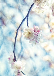 plum blossoms pink white umenohana tree bokeh sky spring flowers seasonal early march park garden floral botanical flowering japan nature natural bloom blooming petals fresh vintage textured concrete paper textures photography