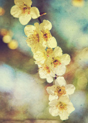 white plum blossoms hakubai umenohana bokeh washi paper texture overlay japanese garden spring textured vintage photography flowers seasonal march park floral botanical flowering tree oriental soft warm delicate asian nature natural bloom blooming petals fresh beauty lovely loveliness beautiful