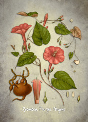 hayne purga jalap flora botanic botanical flower flowers plant ipomoea