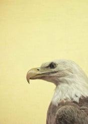 eagle bird minimal beak nature vintage brown beige yellow photography feathers masculine