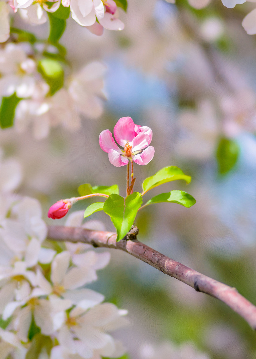 I Woke Up Like This - vertical. Beautiful pink crabapple flower looks 158131
