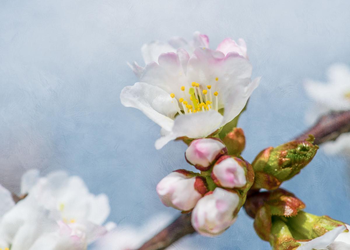 Sakura Flower And Buds. Japanese cherry tree flower and buds against g