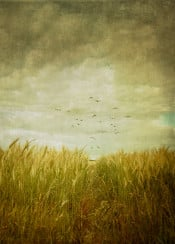 field rural vintage texture crop sky birds agriculture perspective wheat green yellow