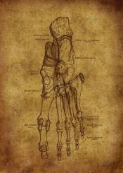 anatomic anatomy vintage illustration