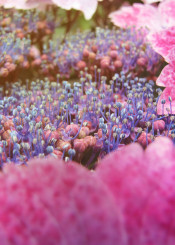ortensia flower pink purple violet hydrangea hortensia