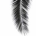 BLACK PALM LEAVE by Monika Strigel