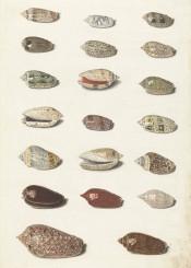 vintage illustration drawing shell
