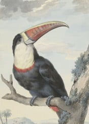 vintage book illustration toucan