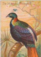 tropical,bird,vintage,vintageillustration,colorful,pheasant