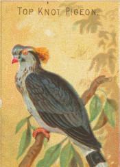 bird,illustration,tropical,exotic,pigeon,vintage