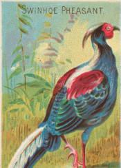 tropical,birds,pheasant,colorful,illustration