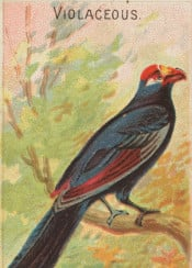 tropical,exotic,bird,colorful,illustration,vintage