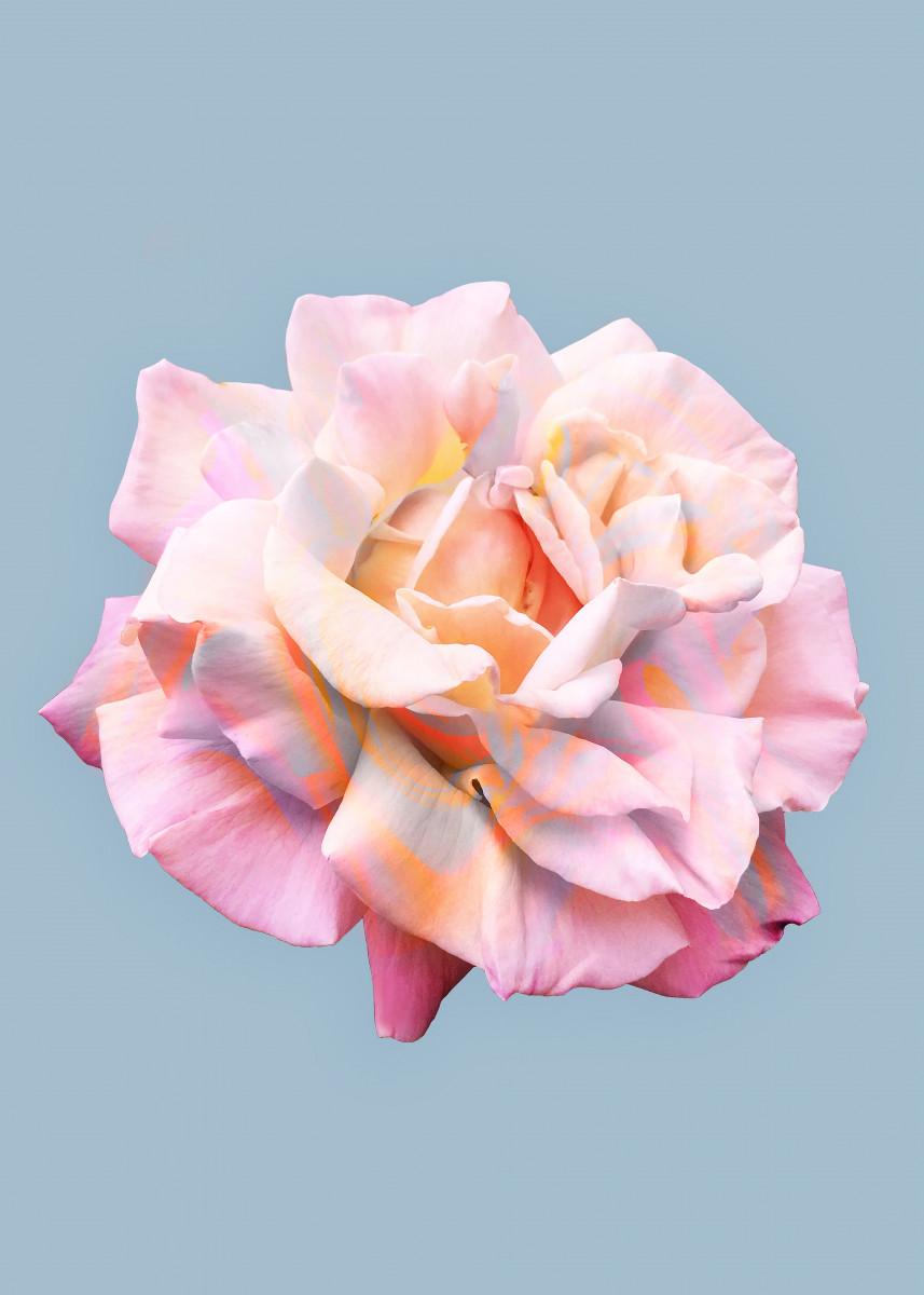 La Vie en Rose 342458