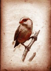 bird birds ornithology waxbill vintage scientific