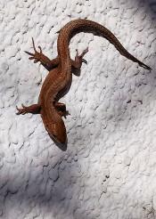 animal lizard brown reptile