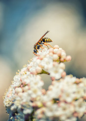 wasp hornet insect flower spring nature macro flying
