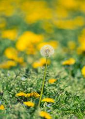 dandelion flower spring yellow nature field soffione