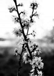 black white greyscale fine photography flowers x shape elegant crab apple