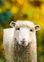 cubic sheep animal