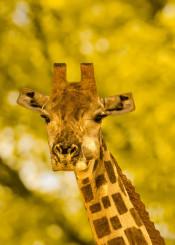 giraffe cubic animal